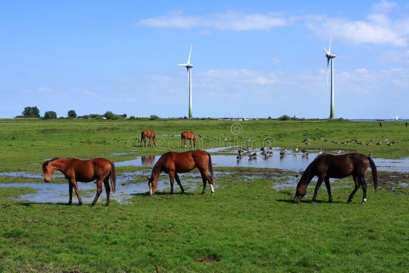 马和鸭子在荷兰风景 免版税库存照片