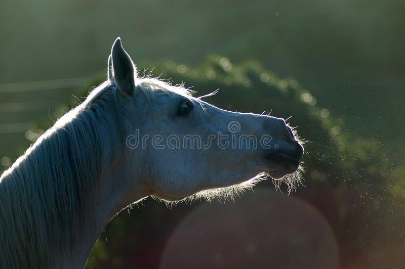 马喷鼻息 库存图片