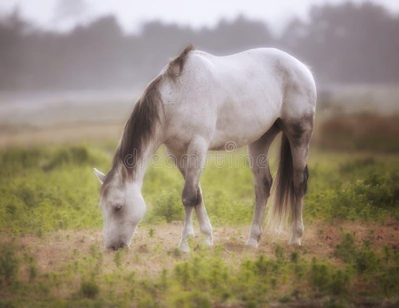 马在一个牧场地在一有雾的天北加利福尼亚,美国 免版税库存图片