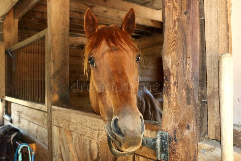 马在他的槽枥在谷仓 库存图片