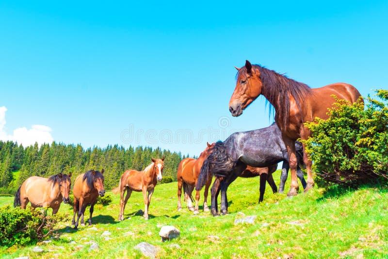 马在山的一个草甸 库存图片