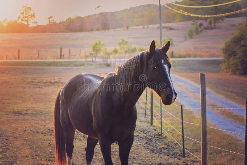 马在日落的牧场地 库存图片