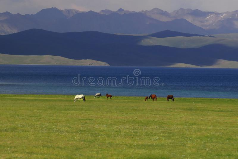 马在歌曲Kol湖附近的吉尔吉斯斯坦 库存照片