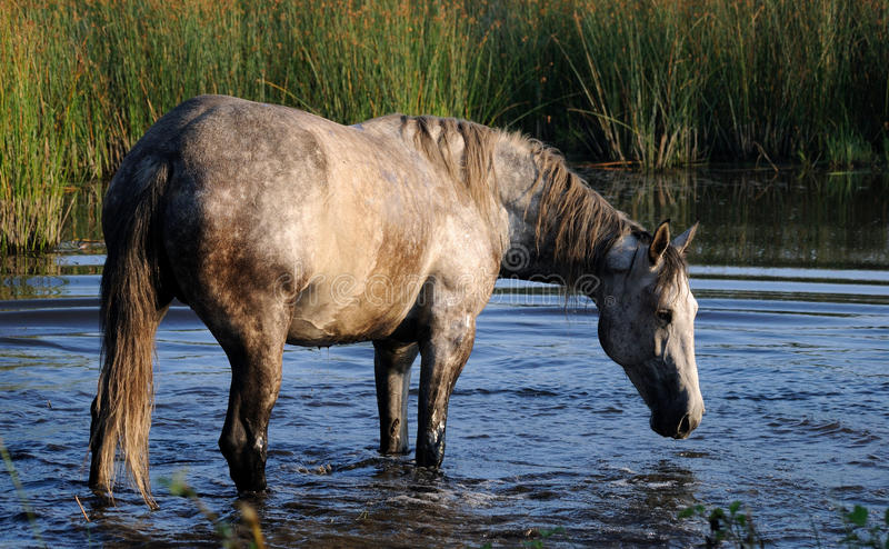 马在池塘沐浴 图库摄影