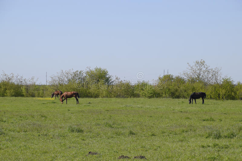 马在牧场地吃草 在马农场的小牧场马 马走 免版税库存照片