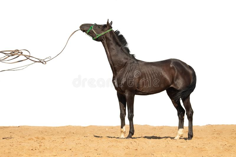 马在白色背景的沙子跳 图库摄影