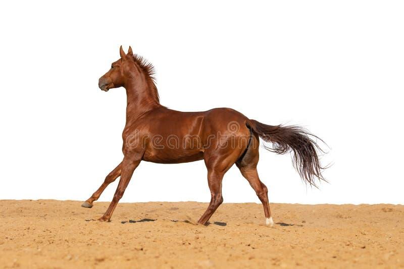 马在白色背景的沙子跳 库存图片