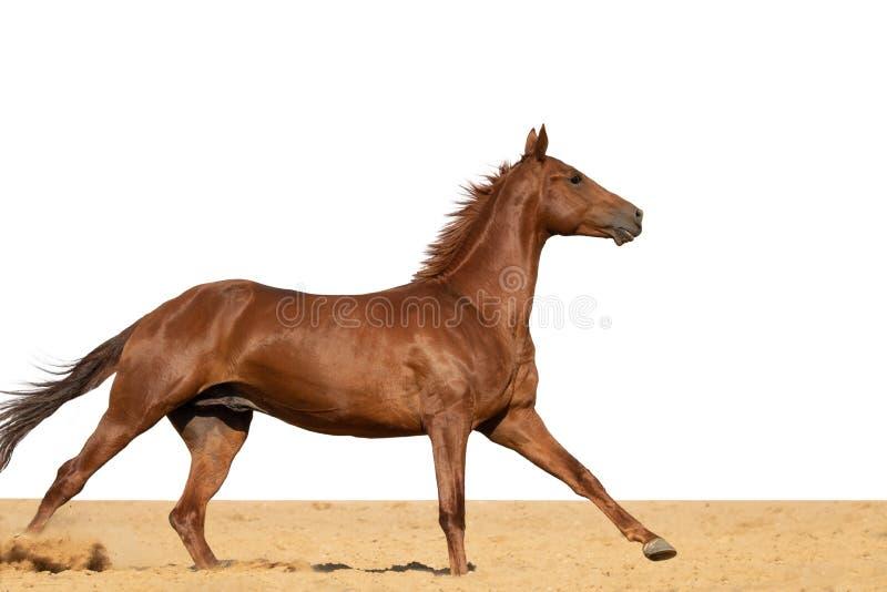 马在白色背景的沙子跳 免版税库存图片