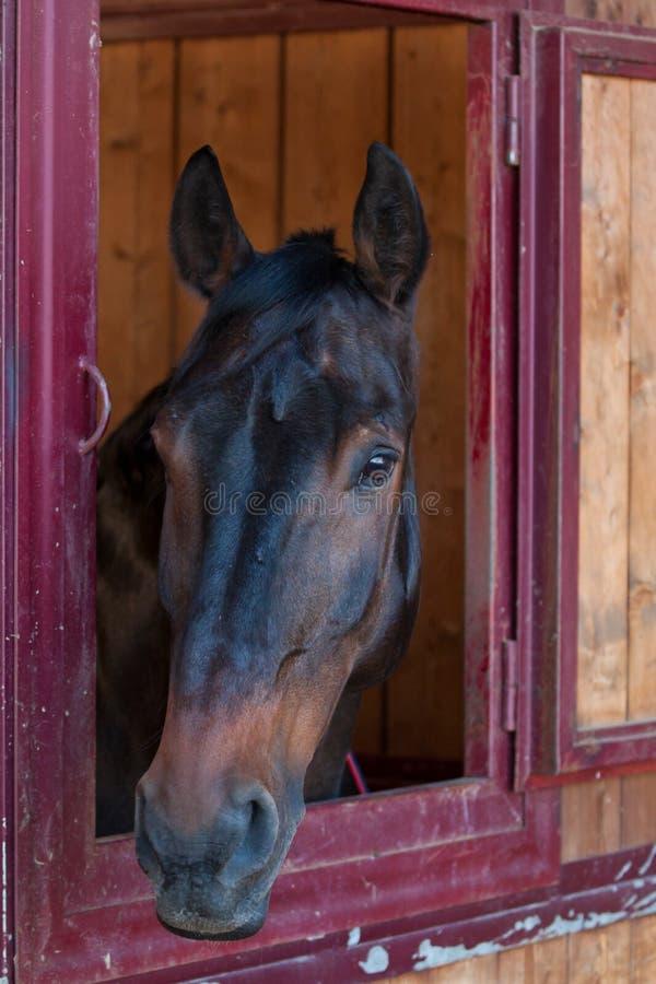 马在稳定 库存照片
