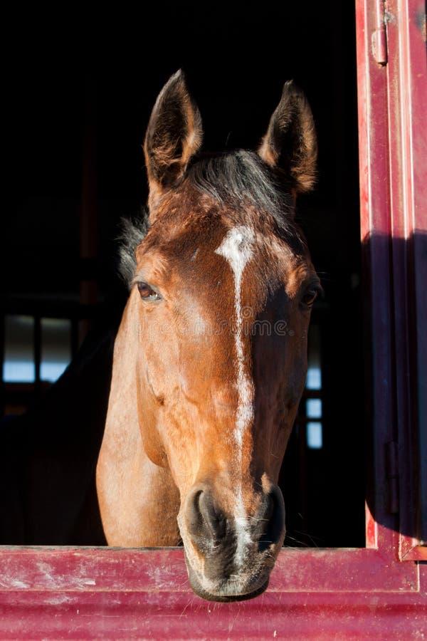 马在稳定 免版税库存照片