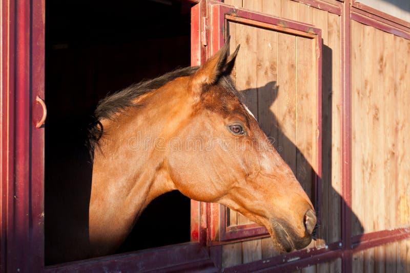 马在稳定 库存图片