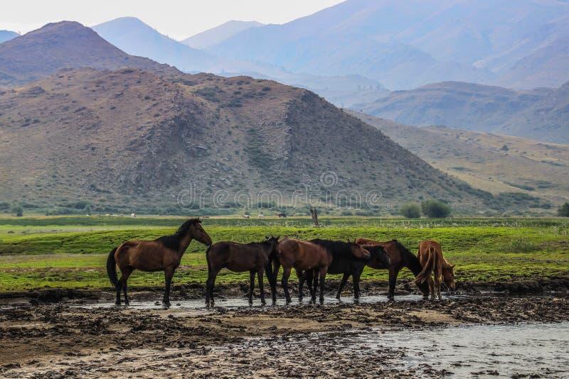 马在蒙古干草原来喝和吃草 库存图片