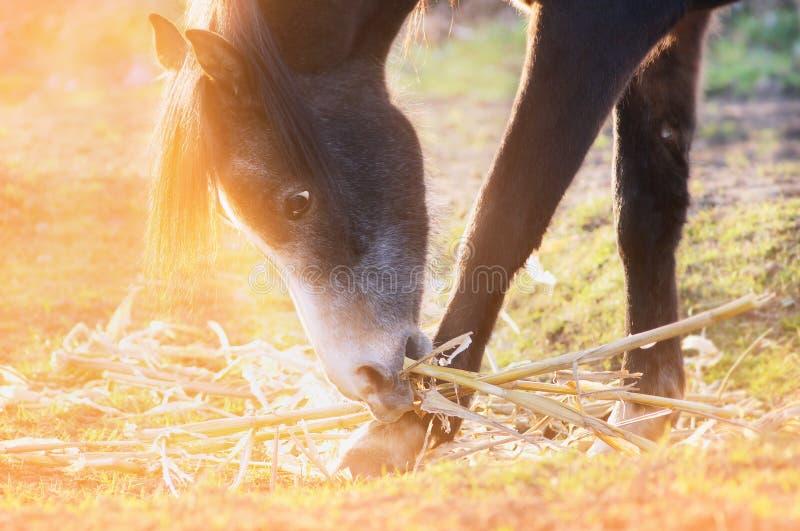 马在阳光下吃玉米秸杆在牧场地在日落 库存照片
