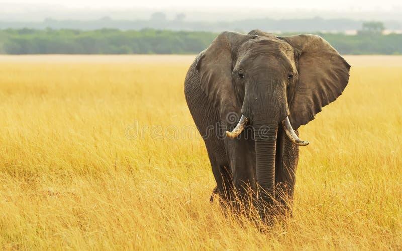 马塞人玛拉大象 图库摄影