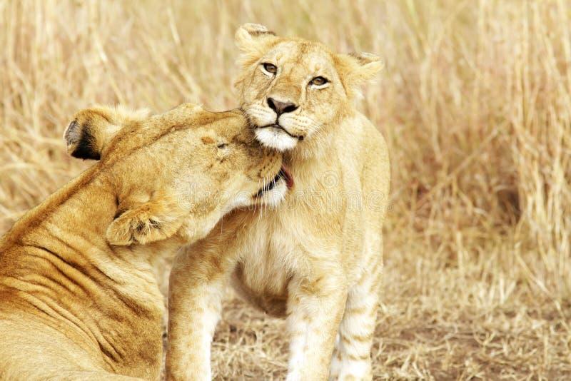 马塞人玛拉幼狮 免版税库存图片