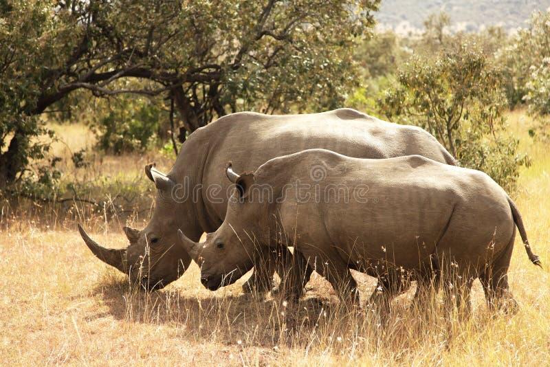 马塞人玛拉犀牛 免版税库存图片