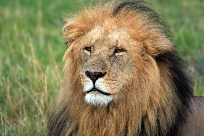 马塞人玛拉狮子画象,肯尼亚,非洲 免版税库存图片