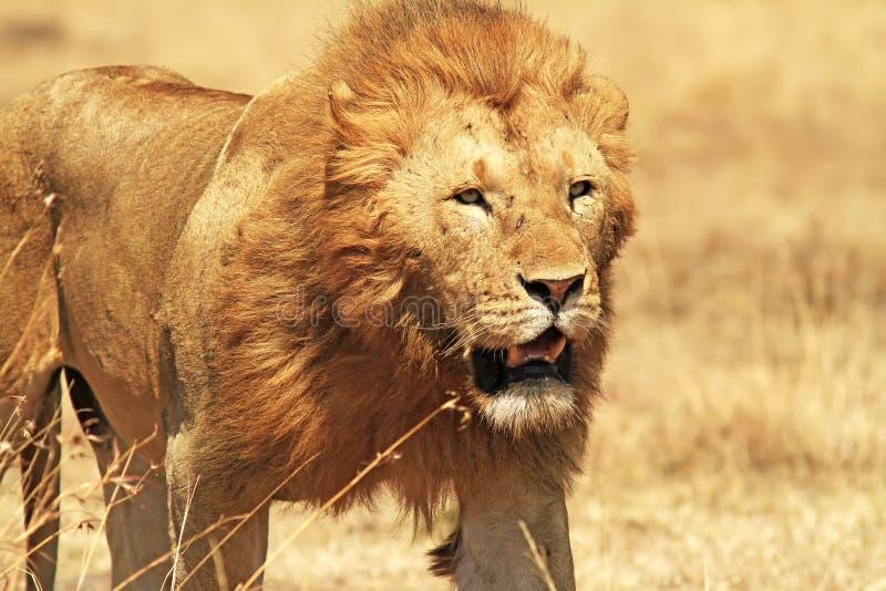 马塞人玛拉狮子 图库摄影