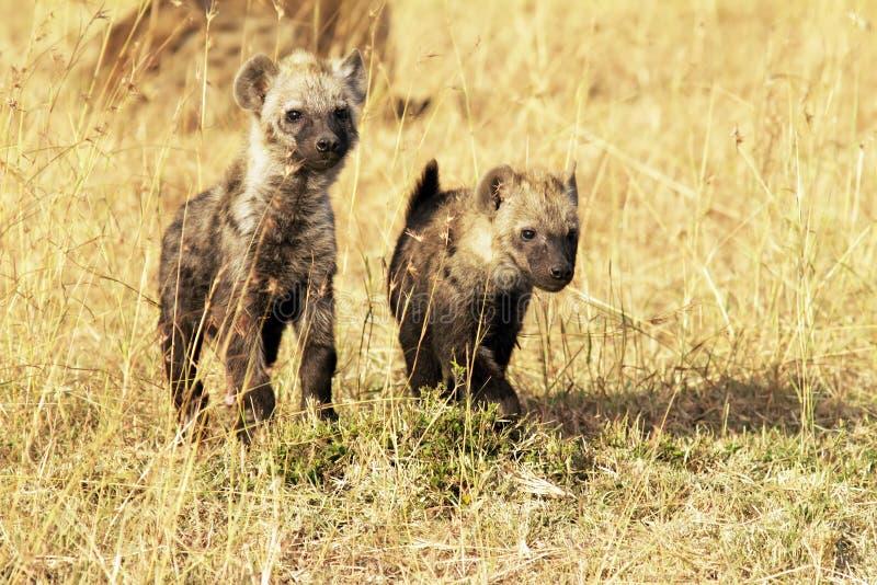 马塞人玛拉年轻人鬣狗 免版税图库摄影