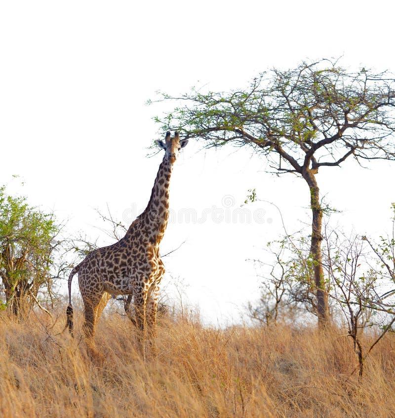 马塞人长颈鹿在Tarangire 库存图片
