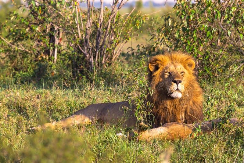 马塞语玛拉的国王 狮子画象 肯尼亚 免版税库存照片