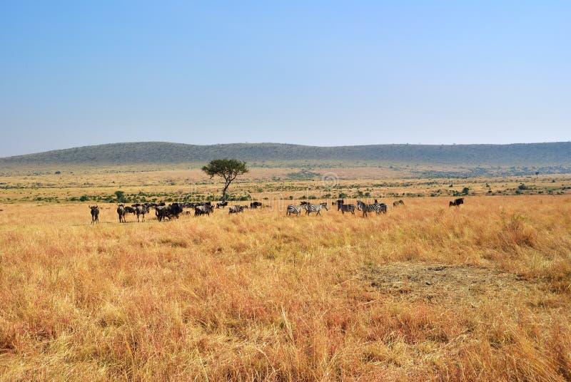 马塞语玛拉,肯尼亚,非洲 库存照片