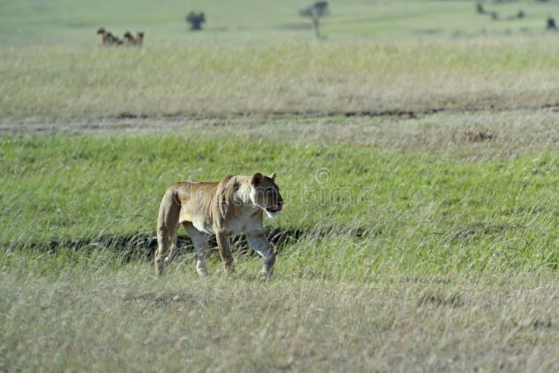 马塞语玛拉 免版税库存照片