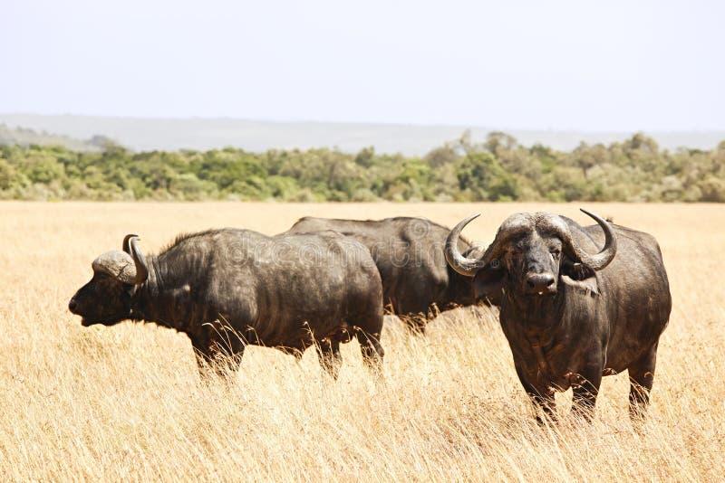马塞语玛拉Cape Buffalo 库存照片