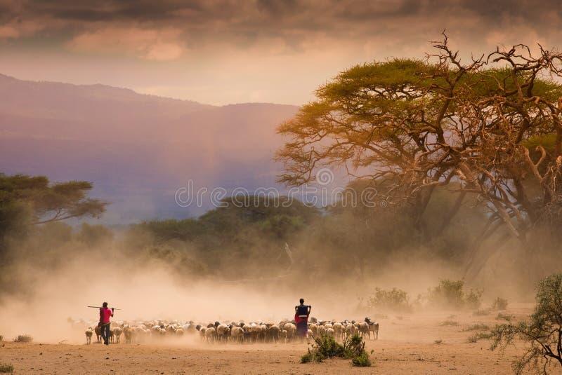 马塞语看管与山羊牧群在非洲大草原的 免版税库存图片