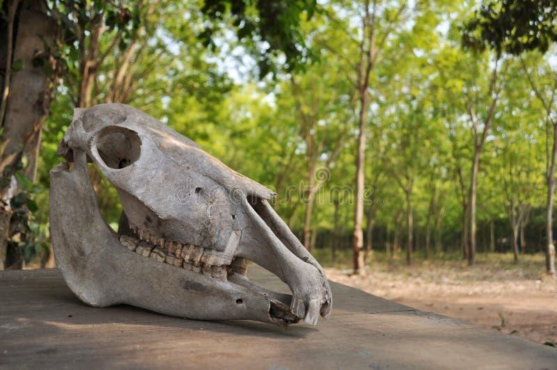 马头骨在桌离开 免版税图库摄影