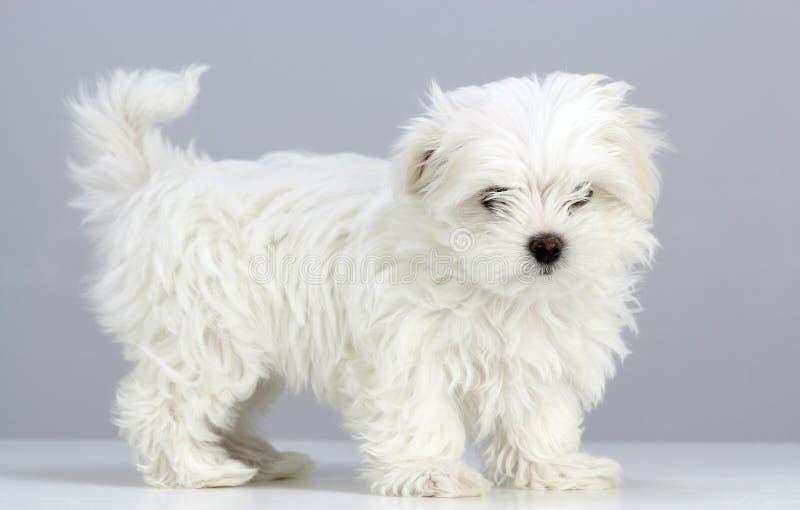 马尔他姿势珍贵的小狗 库存图片
