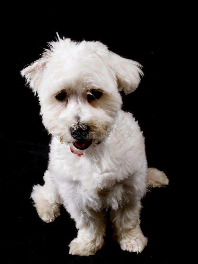 Download 马尔他小狗 库存图片. 图片 包括有 详细资料, 似犬, 查找, 逗人喜爱, 小狗, 开会, 马尔他, satan - 15689219