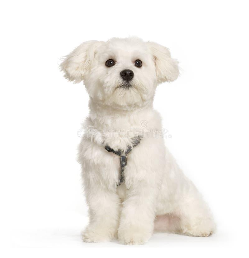马尔他的狗 库存照片