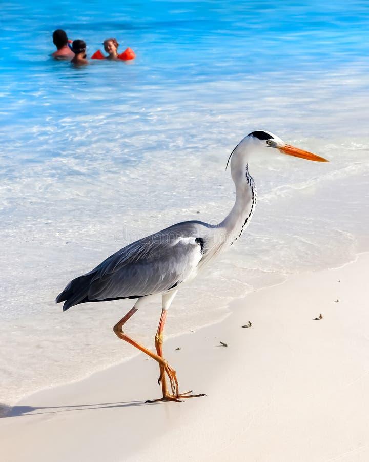 马尔代夫,海岛度假村- 2014年10月18日:与人的美丽的野生白色苍鹭马尔代夫agai的海滩胜地旅馆的 库存图片