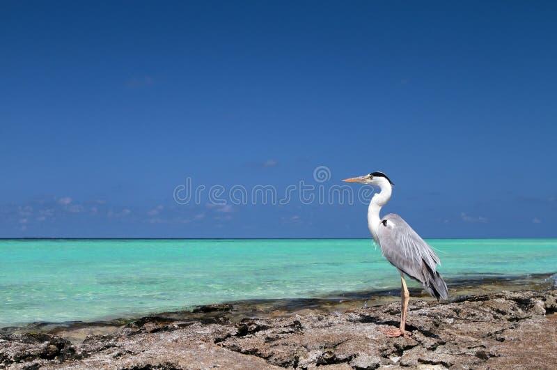 马尔代夫和鸟 库存图片