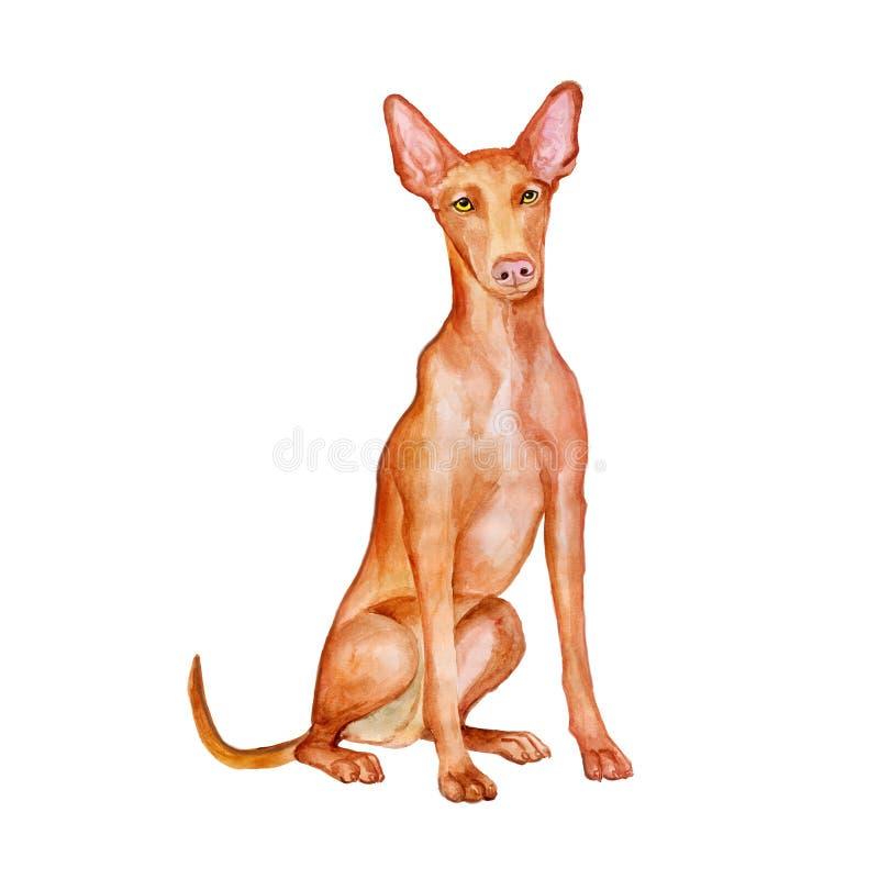 马尔他法老王猎犬水彩画象在白色背景的 手拉的详细的甜家庭宠物 皇族释放例证