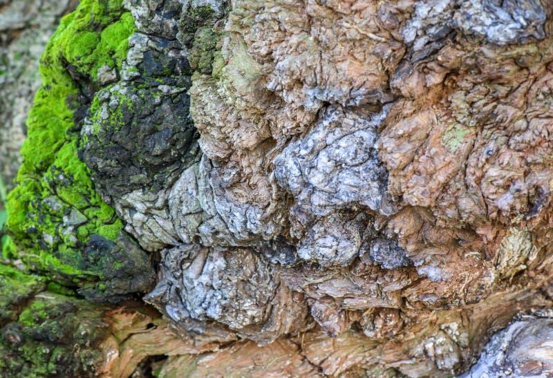 马尼拉树皮 图库摄影