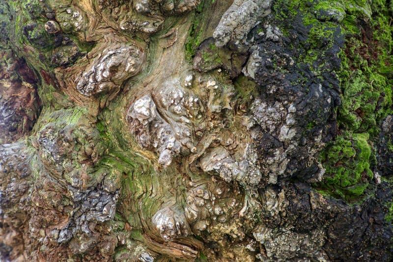 马尼拉树皮 库存照片