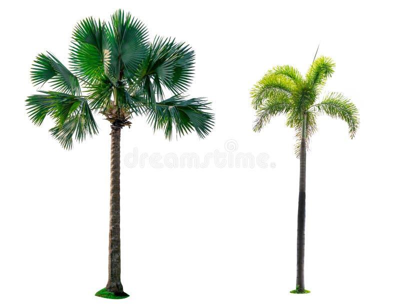 马尼拉棕榈,圣诞节棕榈树Veitchia merrillii Becc H e moore 并且扇形棕榈被隔绝的内唇前区umbraculifera 免版税库存图片