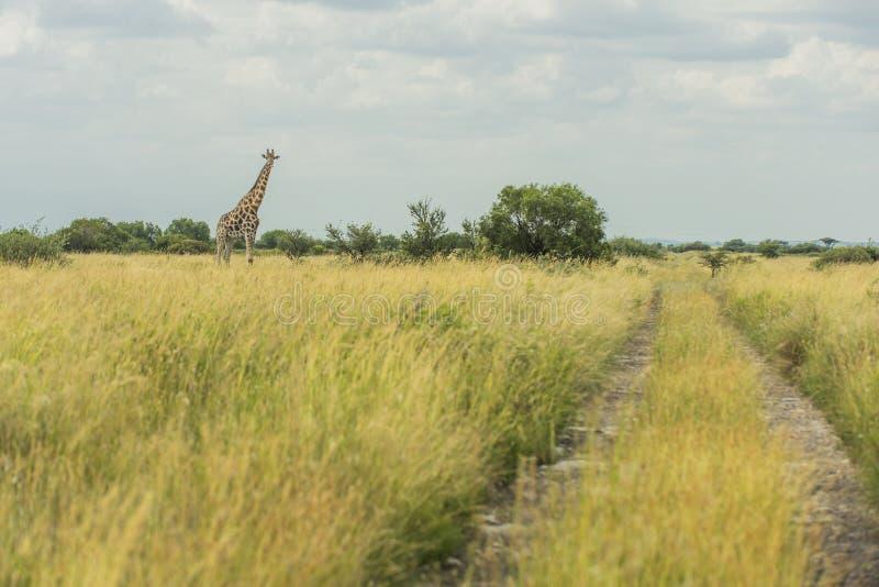 马希坑的长颈鹿 免版税库存图片