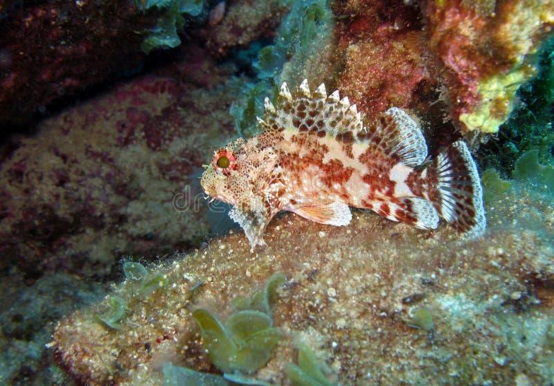 马德拉岛石鱼 免版税库存照片