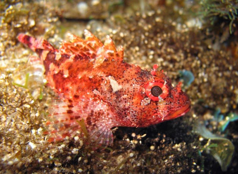 马德拉岛石鱼 库存照片