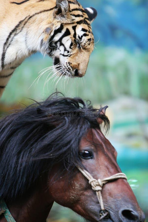 马戏骑马者老虎 免版税库存照片