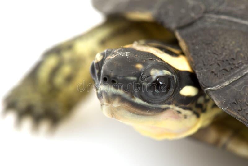 马拉开波乌龟木头 库存照片