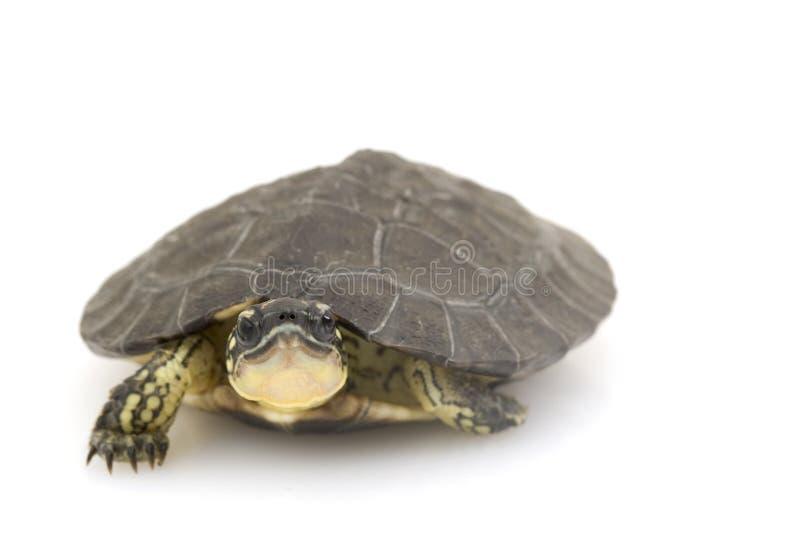 马拉开波乌龟木头 库存图片