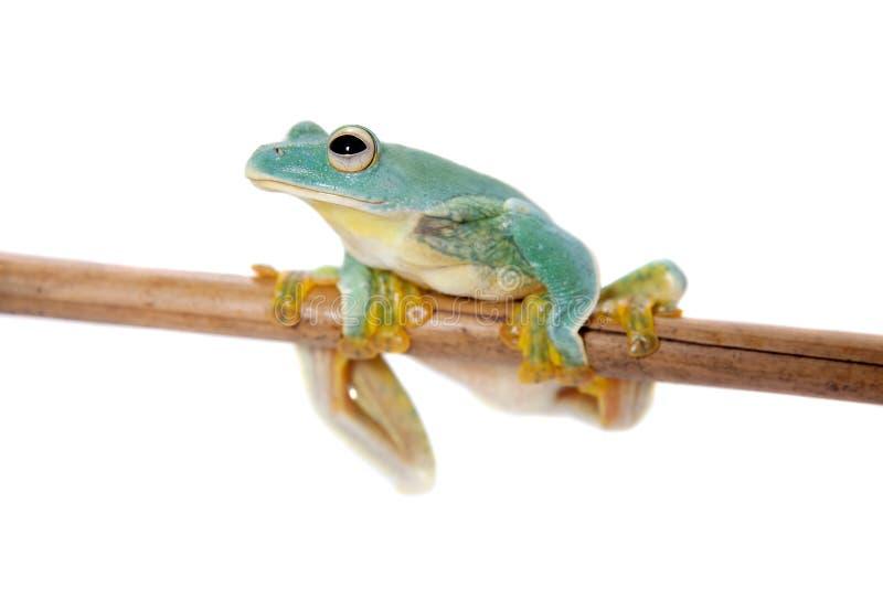 马拉巴尔飞行在白色隔绝的树frogling 免版税库存图片