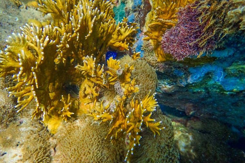 马提尼克岛Anse a l'Ane海滩、加勒比海、西印度群岛、小安的列斯群岛的海底硬软珊瑚 库存照片