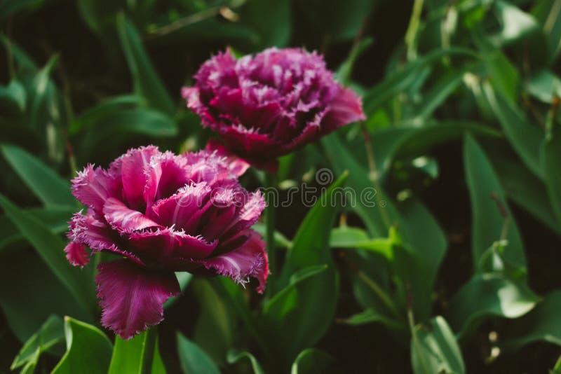 马斯葛郁金香 与更轻的边缘的双重桃红色郁金香 紫罗兰色双重郁金香在春天庭院 库存图片