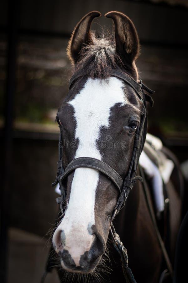 马有细节的被隔绝的头 免版税库存照片
