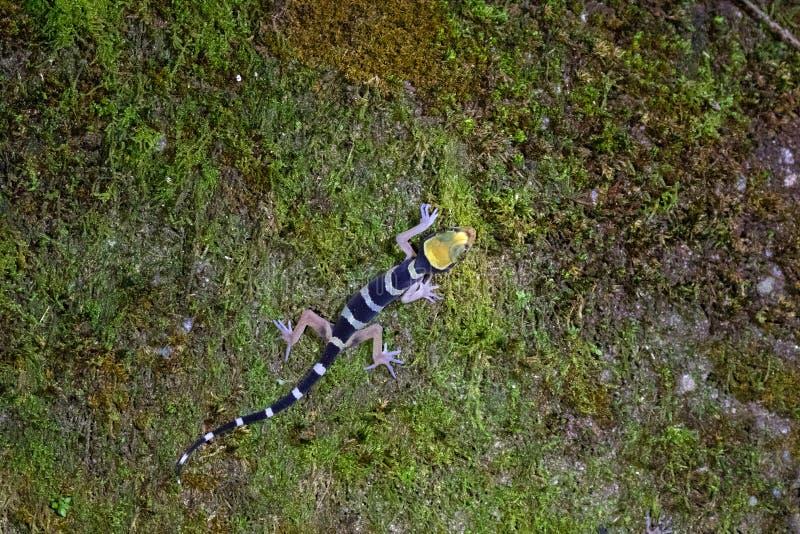马来亚森林壁虎,Banded在马来西亚倾向用了脚尖踢上升在青苔的壁虎在晚上 免版税库存照片